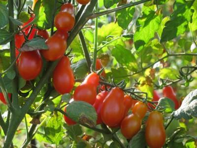 למרות היבוא, צפי למחסור בעגבניות
