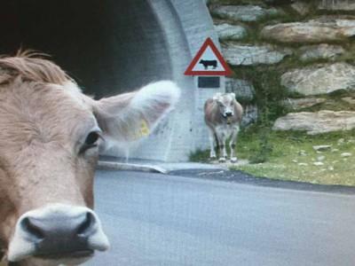 """תאונה """"מוזרה"""": רכב התנגש בפרה"""