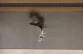 מדהים: משטרת הולנד מאמנת ציפורי טרף לצוד רחפנים