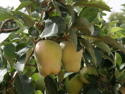 """מנכ""""ל מגדלי הפירות מתריע: """"היבולים עלולים להפגע"""""""