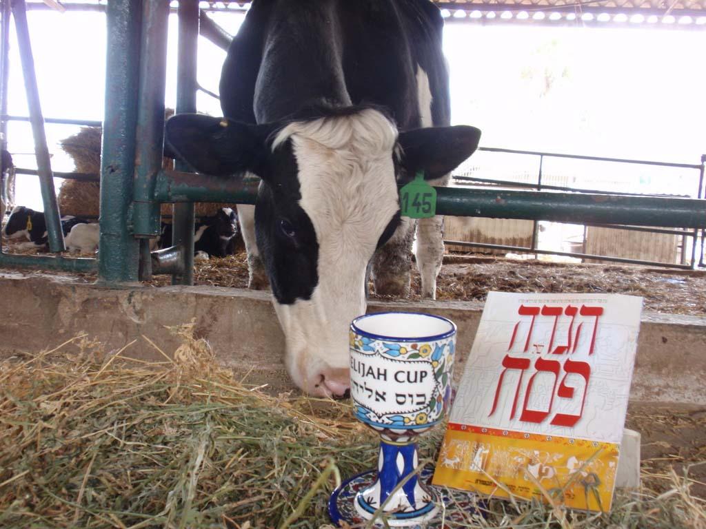 לומדים לחלוב פרות בידיים, מניקים עגלים קטנים, מכנים וטועמים שוקו וחמאה ואפילו רואים רובוט חליבה