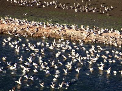 ארגון מגדלי הדגים מתריע: להקות שקנאים עלולות להפיץ את שפעת העופות
