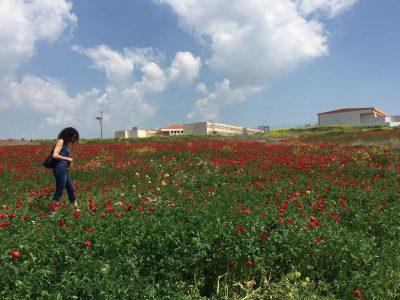 אדום עולה: מרבדי פריחה מרהיבים נחשפים בעמק