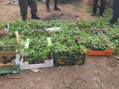 הכי ירוק שיש: חממת מאות שתילי מריחואנה נחשפה בדבורייה