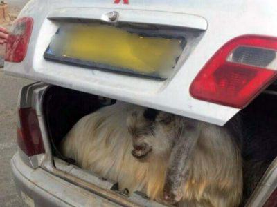 """""""עיזה פזיזה"""": נתפס נוהג עם בעלי חיים ברכב"""