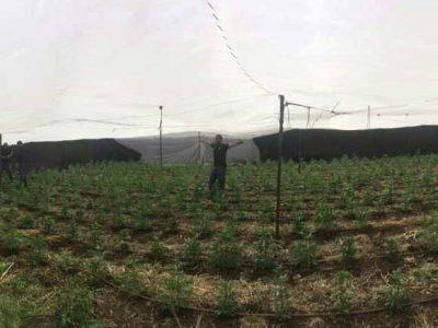 סמוך לתל עדשים: המשטרה איתרה 2700 צמחי קנאביס