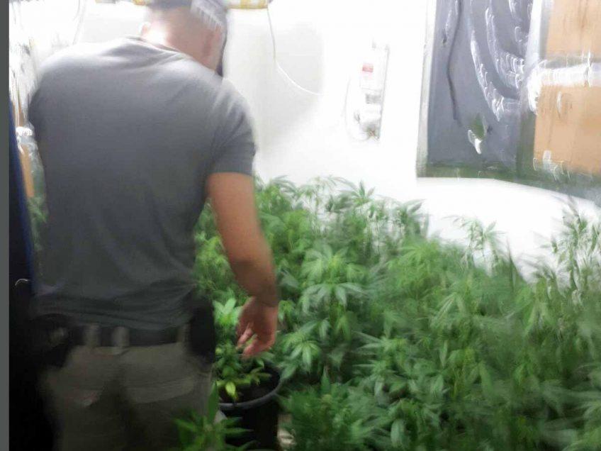 צמחי המריחואנה שנתפסו בדירה
