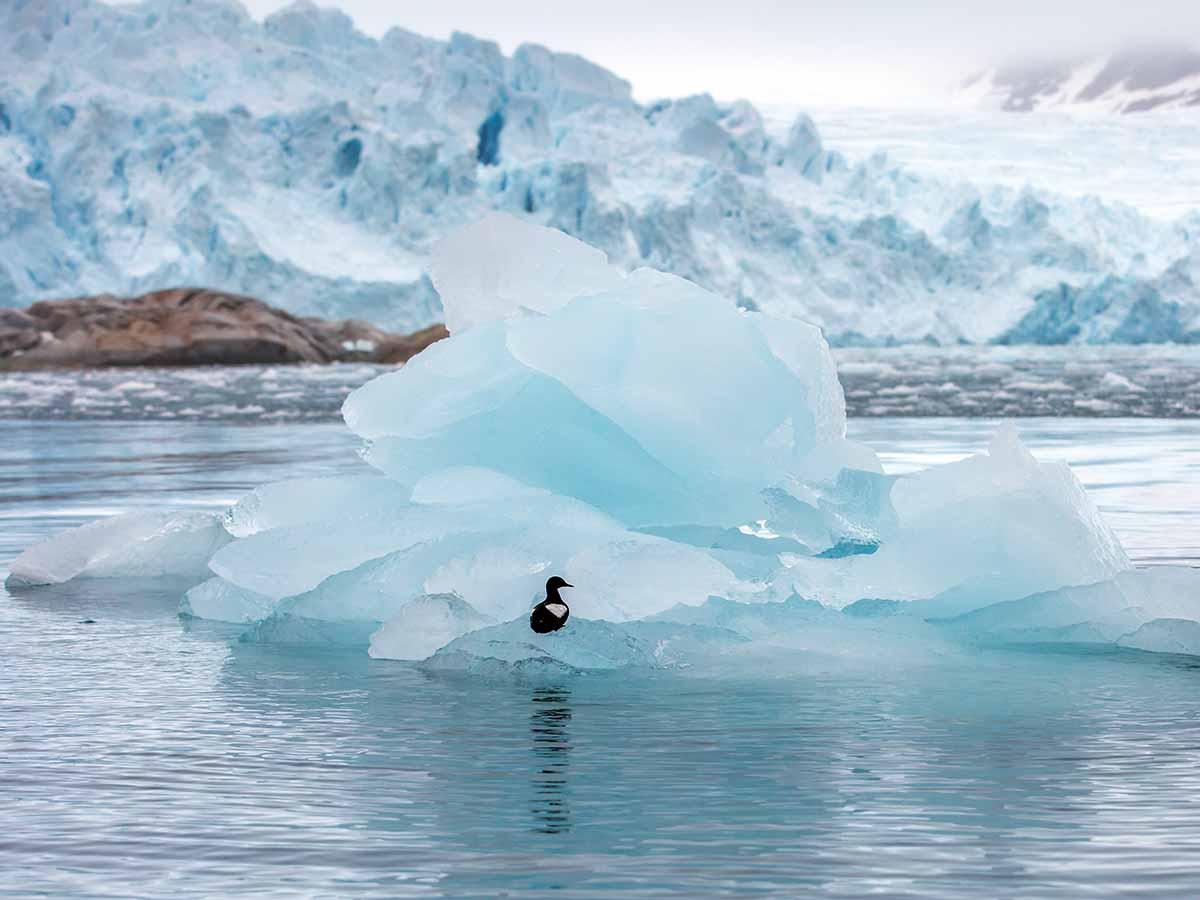 פינגווין על רקע מניפת קרח