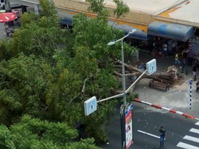מלחיץ: עץ ענק קרס במרכז העיר עפולה