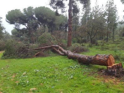 ונדליזם בדרך נוף יער בית קשת: שני עצי אורן בני כ-95 שנה נכרתו על ידי אלמונים