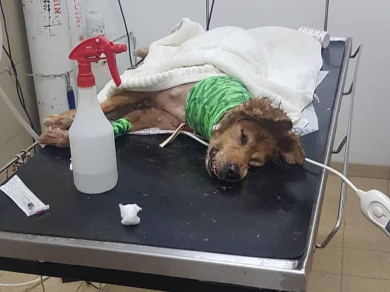 עפולה: פיטבול תקף באכזריות כלב מעורב