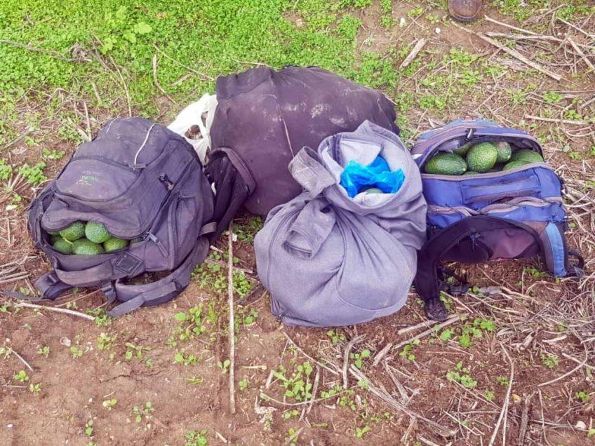 """משא אבוקדו: גנבו עשרות ק""""ג של הפרי היקר ופתחו בצעדה אל שטחי הרשות"""