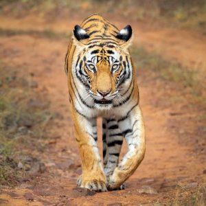 הטיגריס הבנגלי בתנועה. צילום מרלן נוי