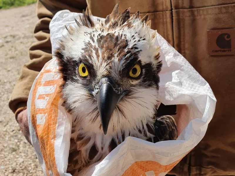 עמק המעיינות: עוף דורס שאחת מכנפיו נשברה ניצל בזכות ערנות של פקח רט״ג