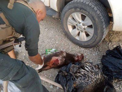 מזעזע: ציידים בלתי חוקיים מהצפון נתפסו עם דורבנים שחוטים