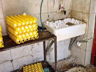 מפקחי משרד החקלאות חשפו לול ששטף את הביצים טרם השיווק וייבש אותן בשמש