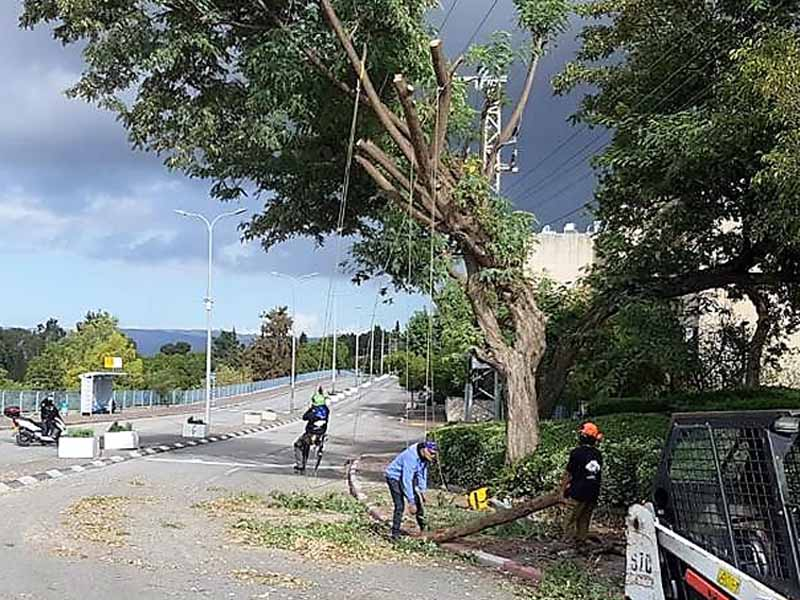 גבעת המורה: מבצע לכריתת עצים מסוכנים