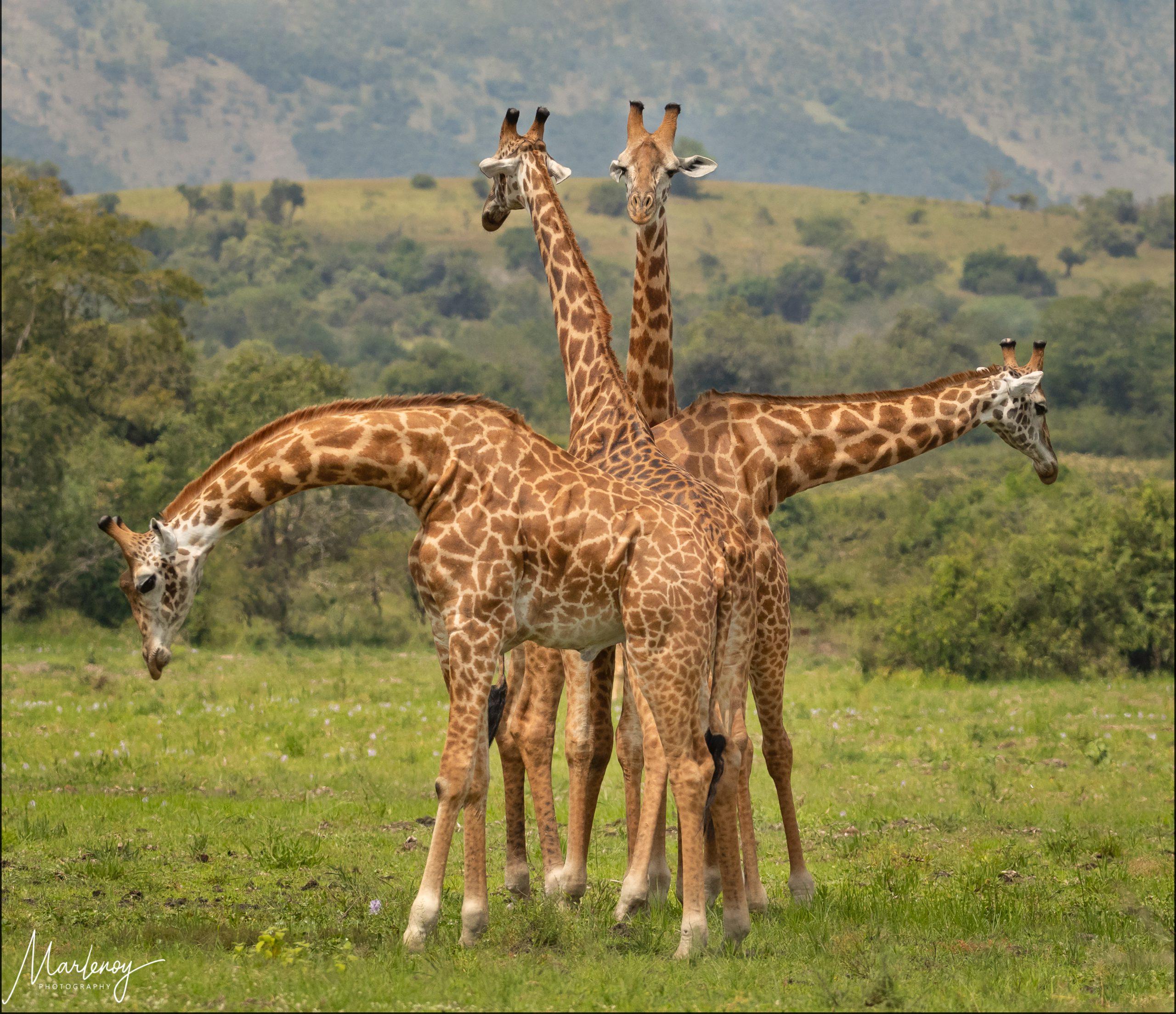 ג'ירפות בטבע הפתוח ברואנדה. צילום: מרלן נוי
