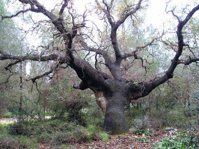 """אלון התבור: בין המועמדים הסופיים ל""""עץ הלאומי"""""""