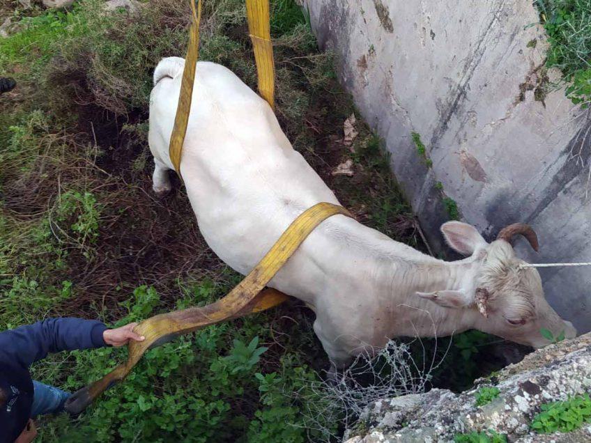 """מוווווצלח: פרה שנלכדה בבור בעומק 6 מ' חולצה ע""""י יחידת הפיצו""""ח"""
