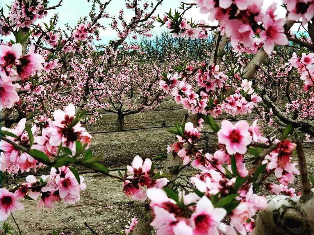 פריחת האפרסק ביסוד המעלה-צילום ענבר שביט