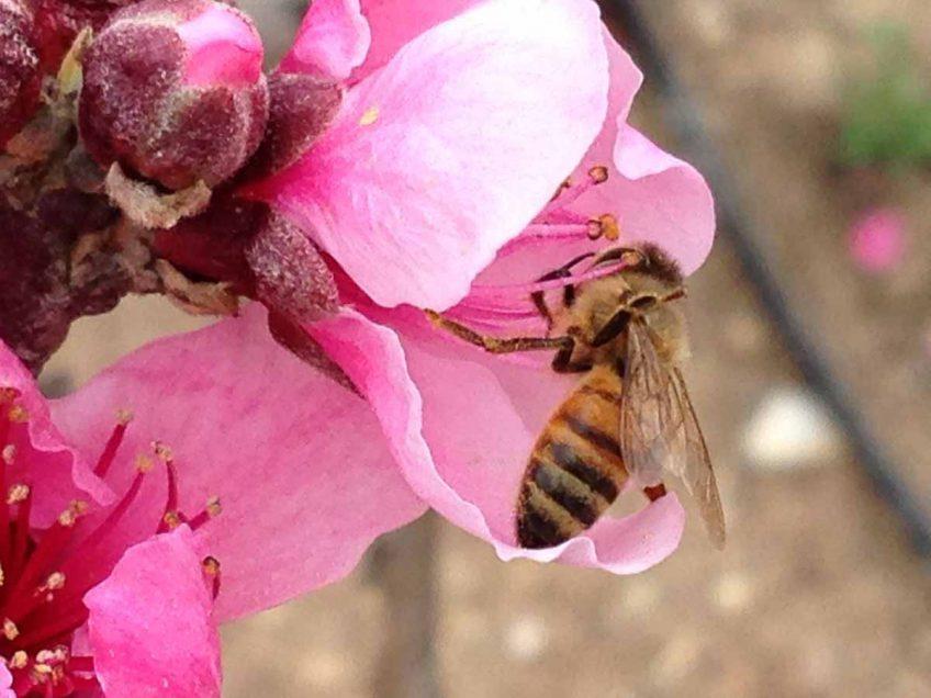 דבורת הדבש: כמה דברים מעניינים שאולי לא ידעתם
