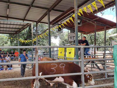 """31 אלף שקלים: שיא ישראלי באירוע מכירת הפרים של אמב""""ל בעמק יזרעאל"""