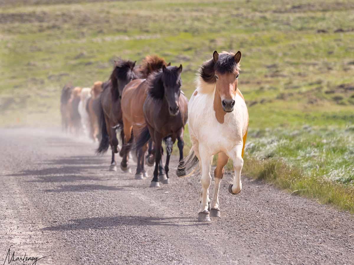 פיתחו מזג נעים וחברותי, סוסים באיסלנד.צילומים: מרלן נוי