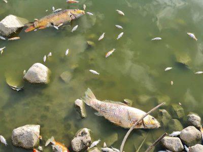בעקבות חשיפה של תמותה חריגה של דגים, צו הסגר הוצא למאגר בכפר רופין